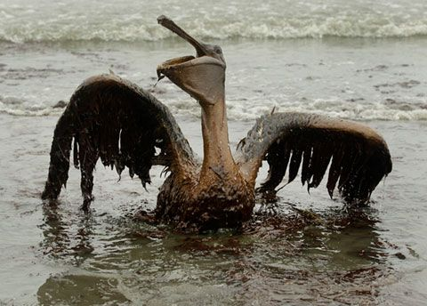 Bird-in-Oil-Spill