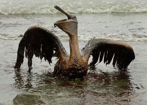 Bird-in-Oil-Spill